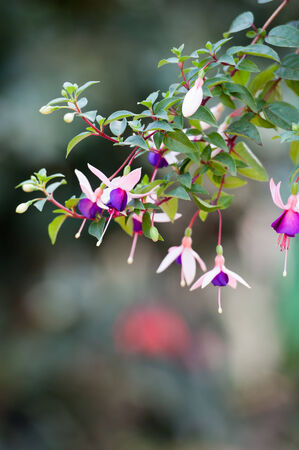 Fuchsia flower or Ladys Eardrops on Angkhang mountain, chiangmai, Thailand photo