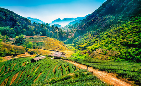 field of thai: Tea plantations on angkhang mountain, chiang mai, thailand Stock Photo