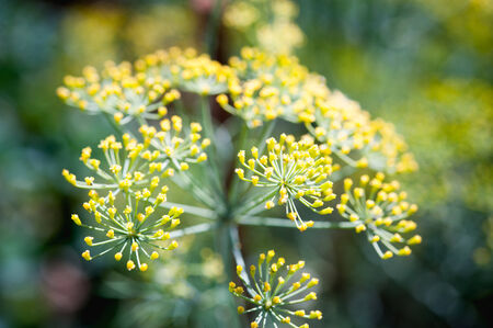 close up fennel in garden at Doi angkhang mountain chiang mai thailand photo