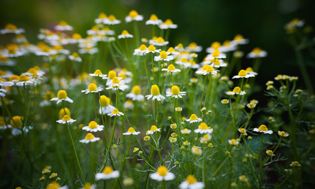Yellow and white daisy in AngKhang Chiangmai THailand photo