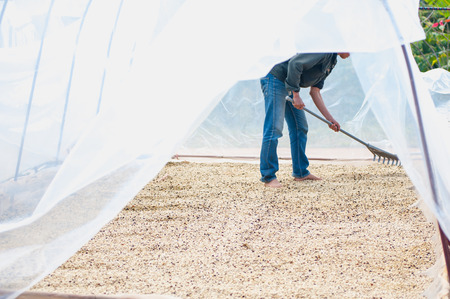 process of drying coffee beans in clean room photo