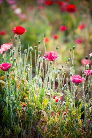 Opium poppy flower, angkhang mountain Thailand photo