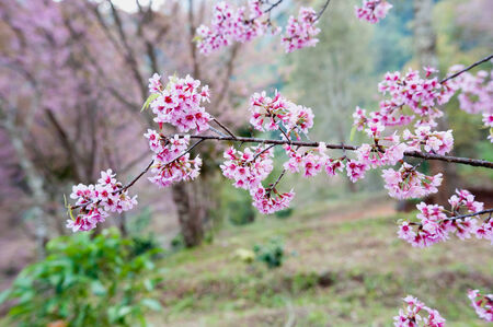 Himalayan Cherry (Prunus cerasoides) blooming at pang khon    mountain Chiang Rai, Thailand photo