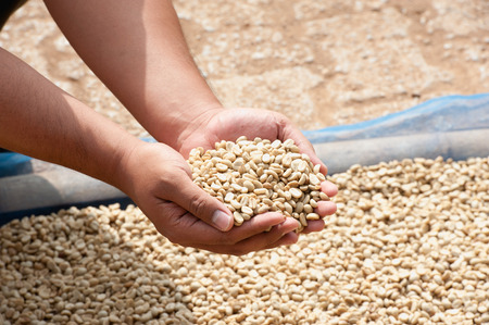 dry coffee beans in farmer hand at plantation on Pha Hi mountrain, Chiangrai Thailand Stock Photo
