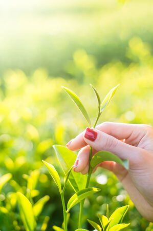 Fresh tea leaves in fingers on plantation at chiangrai, thailand photo