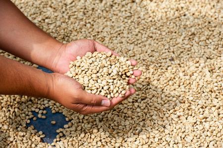 dry coffee beans in farmer hand at plantation on Pha Hi mountrain, Chiangrai Thailand Stock Photo