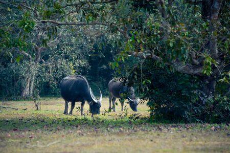 buffalo grass: asia buffalo in grass field at thailand