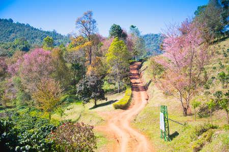 saga: Sakura flower blooming blossom in Pangkhon mountain Chiang rai, Thailand