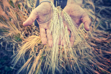 working hands: Closeup of Hands from male farmer with barlay, vintage effect