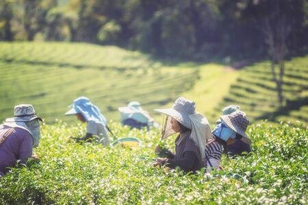 famous industries: asia women farmer from Thailand picking tea leaves on tea plantation at Chui Fong , Chiang Rai, Thailand. Editorial