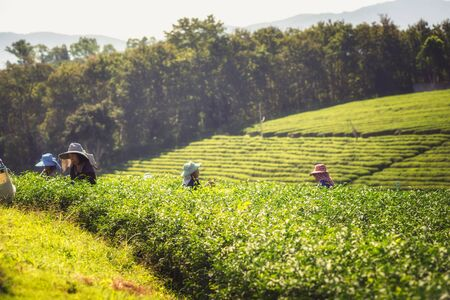 famous industries: asia women farmer from Thailand picking tea leaves on tea plantation at Chui Fong , Chiang Rai, Thailand. Stock Photo