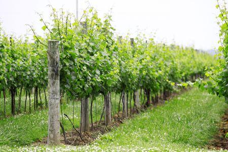 Winery in Niagara on the Lake photo