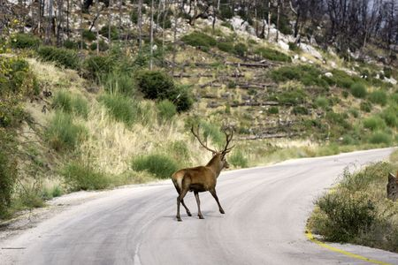 A deer pashing a street in the forest photo