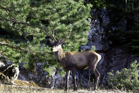 Deer seeking food photo