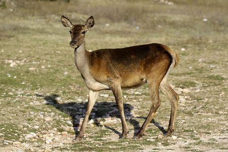 Deer seeking food 스톡 콘텐츠