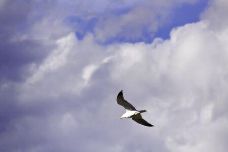 wingspread: Flying seagull