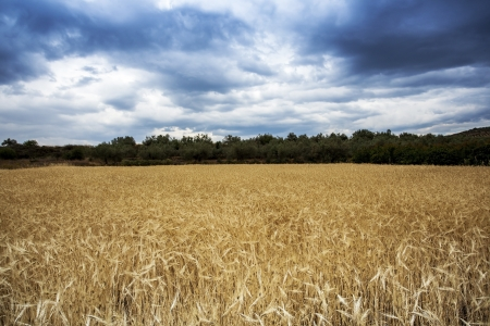 Field of wheat under the blue sky Stock Photo