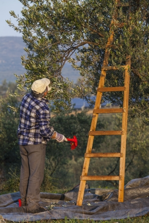 Olives harvesting in a field in Greece photo