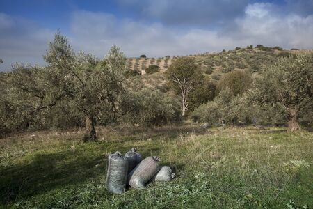 plum grove: Olives harvesting in a field in Greece