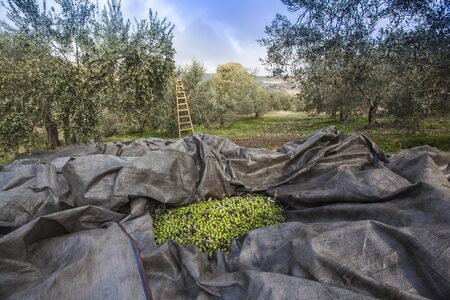 Olives harvesting in a field in Greece