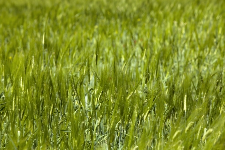 Wheat crops plant field in summer