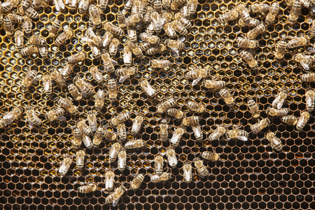 Bees and honey on a honeycomb