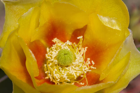 prickly pear: Prickly Pear Bloom