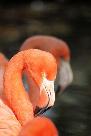 three flamingos side by side photo