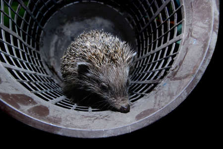 hedgehog in bucket photo