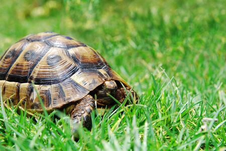 hiding turtle on green grass Stock Photo