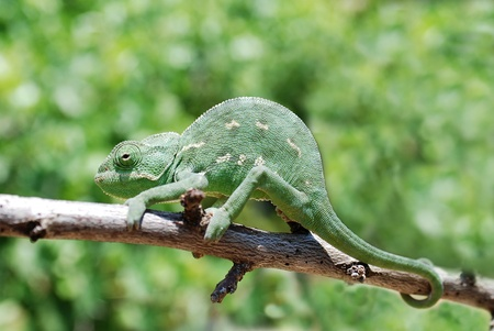 arboreal: Chameleon on branch