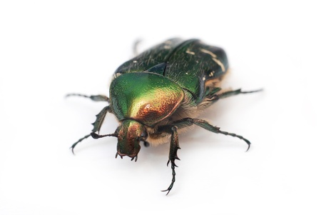 Green golden june european bug isolated photo