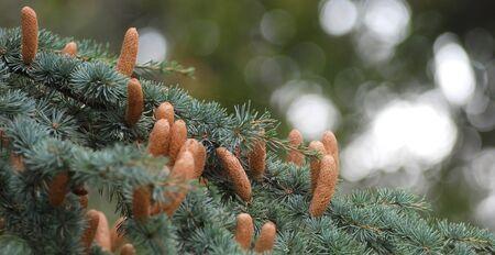 burgeoning: Closeup of fresh fir buds