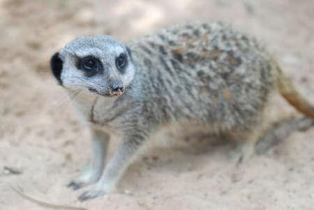 gazer: Side face portrait of a meerkat Stock Photo