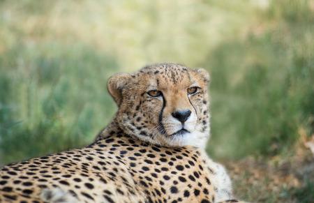 lieing: lieing cheetah