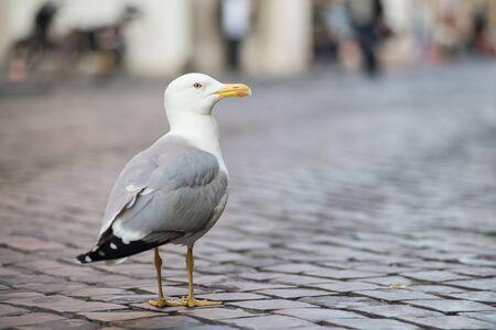 monogamous: Seagull Stock Photo