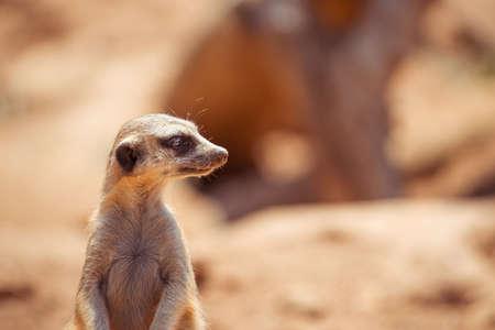 Alert meerkat standing on guard 版權商用圖片
