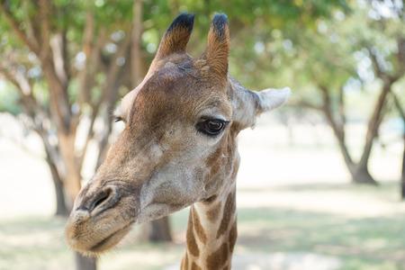 giraffa camelopardalis reticulata: Reticulated giraffe portrait