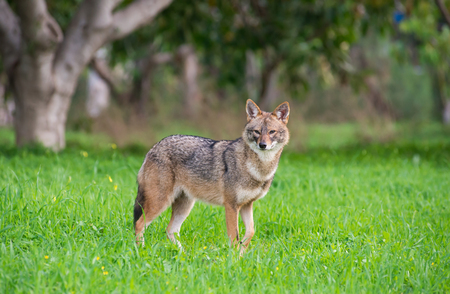 Black backed jackal staring towards the camera in the middle of national park of Israel