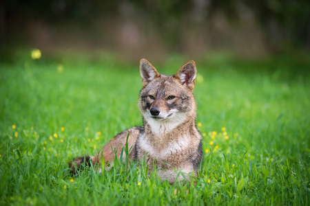 Black backed jackal lies on the grass the middle of national park of Israel
