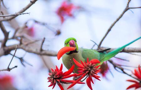 green rose ringed parakeet eats flower on the tree