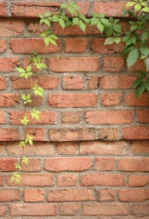 ivy wall: Ivy on a brick wall Stock Photo
