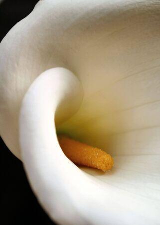 Close up of a Calla Lily