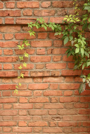 ivy wall: Brick Wall with Ivy Stock Photo