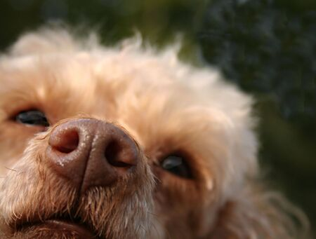 nose close up: Close up of a nose of a mini poodle