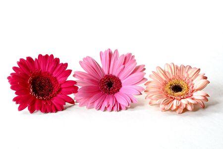 Three gerbera daisies Stock Photo