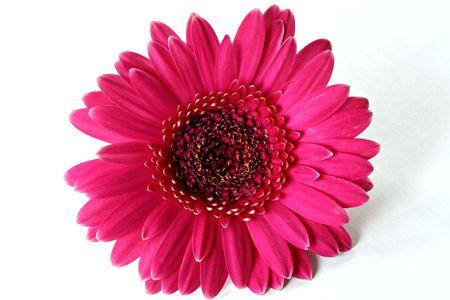 pink daisy: Hot Pink Gerbera Daisy