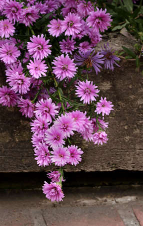 curb: Purple Mums Hanging over Curb