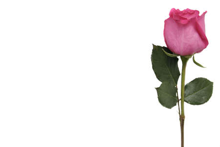 Pink Rose with Copy Space