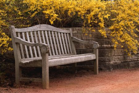 Empty bench by Forsythia